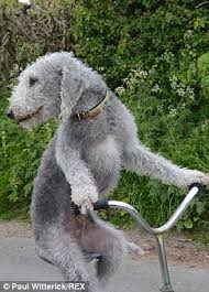 bedlington terrier genetic disease bedlington terrier becomes a star after learning to ride downhill