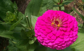 Zinnias Flowers Top 5 Most Beautiful Zinnia Flowers Home So Good