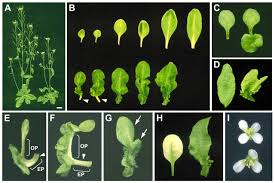 the blade on petiole 1 gene controls leaf pattern formation