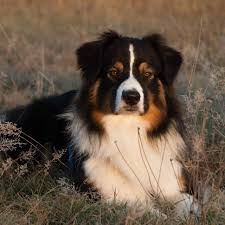 australian shepherd 5 monate asca ch like a rolling stone of the mighty crown rn dna vp