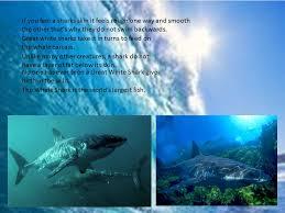 1 biggest shark caught 6 4 metres long 4 5 metres