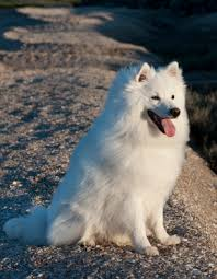 american eskimo dog what do they eat american eskimo dogs