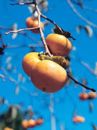 how to plant and grow persimmons hgtv