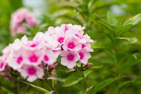 mahoney u0027s garden center late summer bloomers