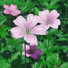 geraniums hardy u2013 easy to grow bulbs