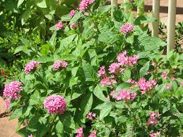australian native shade plants my dry tropics garden today u0027s flower pentas lanceolata