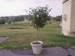 gardenia tree under attack