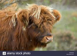 highland cow domestic cattle bos tarus calf inverness shire