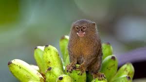 pygmy marmoset san diego zoo animals u0026 plants