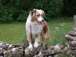 australian shepherd kc pedigree kc registered australian shepherd puppies in southampton