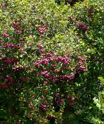 australian native screening plants syzygium smithii wikipedia