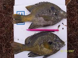 common causes of fish kills in your pond or lake keeton