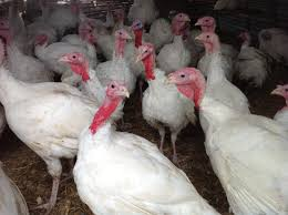 where to order turkey for thanksgiving order your farm fresh turkey for thanksgiving urban acres