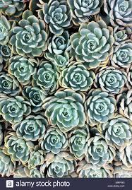 succulent plants stock photos u0026 succulent plants stock images alamy