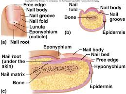 Human Anatomy Integumentary System Lecture 7 Integumentary System