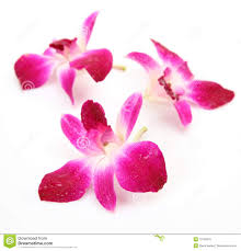 pink orchids pink orchids stock image image of background orchid 16130679