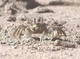 Pleins De Crabe Violonistes Très Crabe Fantôme