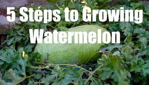 5 steps to growing watermelon in 4k youtube