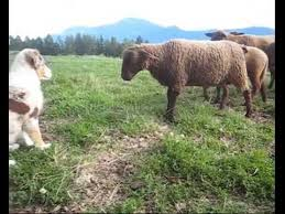 australian shepherd herding sheep australian shepherd first time with sheep at age 12 weeks youtube