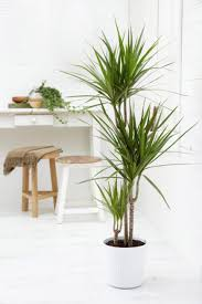 Dracaena Marginata Decorations Easy Maintain Indoor Plant Features Dracaena Marginata