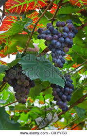 grape vine vitis vinifera leaf and grape studio picture stock