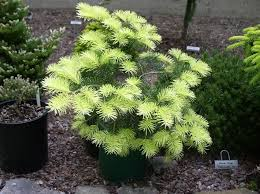 247 best ornamental conifers images on plants