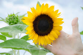 scientists are using sunflowers to clean up nuclear radiation