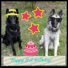 belgian shepherd video belgian shepherd dogs south africa home facebook