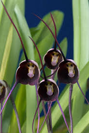 Pretty Plants by Online Buy Wholesale Monkey Face Plant From China Monkey Face