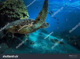 sea turtle deep blue water near stock photo 471085277 shutterstock