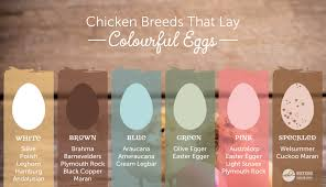 Backyard Laying Chickens by Chicken Breeds That Lay Different Coloured Eggs