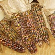 ornamental corn earth tones dent harris seeds