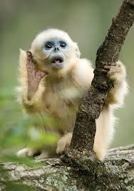 Baby Monkey Meme - cute baby golden snub nosed monkey monkeys pinterest monkey