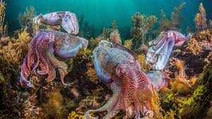 world octopus and squid populations are booming science aaas