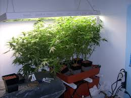 1000 watts x 3 hashberry and ice grow journals growery message
