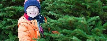 how to choose real christmas trees guide u0026 tips stihl usa