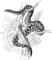 anaconda clipart etc