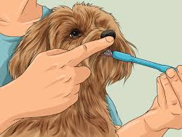 how to cut a yorkie poo s hair how to groom your yorkie poo 10 steps with pictures wikihow