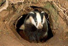 Honey Badger Meme Generator - badger underground badgers are related to weasels and otters their