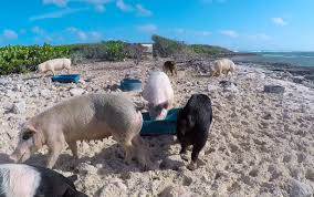 what it u0027s like to swim with pigs in the bahamas la jolla mom