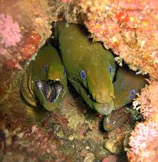 a den of panamic green moray eels sand and sea pinterest