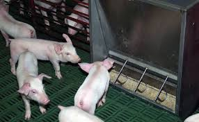 piglet quality can impact subsequent grow finish performance