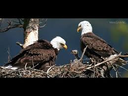 bald eagle live decorah iowa usa live feed alerts and more