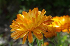 calendula flowers gardening 101 calendula gardenista