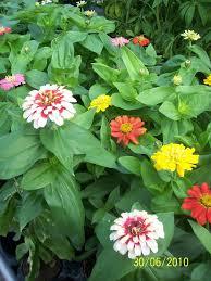 62 best zinnia love images on pinterest zinnias flower