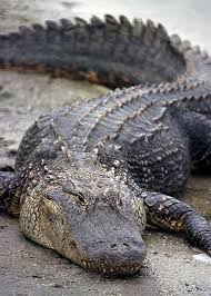 nasa john f kennedy space center alligators and rocketships