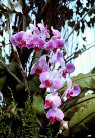 phalaenopsis and paphiopedilum species easy orchids to grow as
