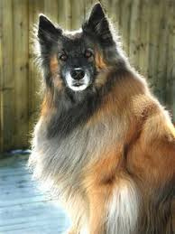 belgian sheepdog clothing belgian shepherd dog tervueren these animals have all the
