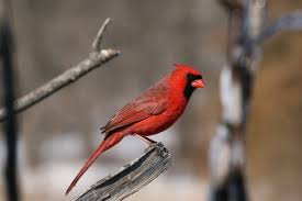 cardinal song of america birdseed