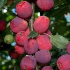 Profusion Flowering Crabapple - flowering crabapple trees for sale nature hills nursery